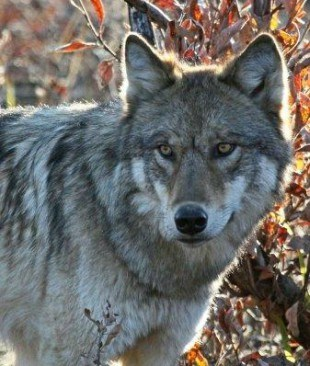 close up of a wolf's face with fall colors in the background