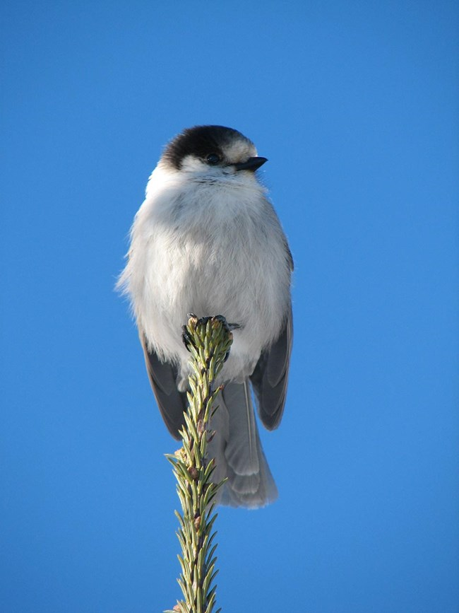 A gray jay perched on the top of a spruce.