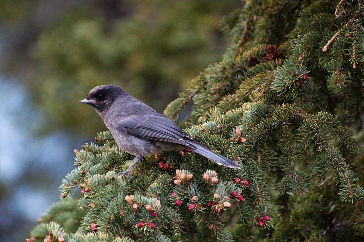 A gray jay perches on a spruce tree.