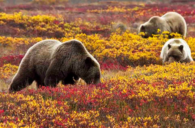 Brown bears in the fall tundra berry patch.