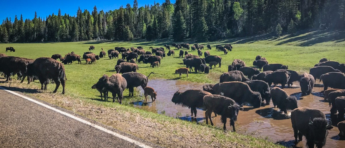 a herd of 80 bison of all ages in a green meadow by the edge of a paved highway. In the background a mixed conifer forest.
