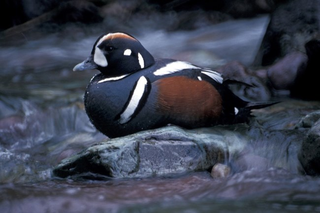Harlequin duck on the water