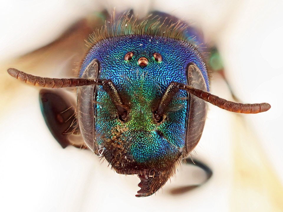 Macro view of the beautiful, iridescent head of a mason bee