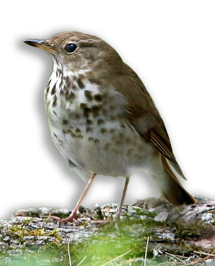 A Hermit Thrush sits on a log on the forest floor.