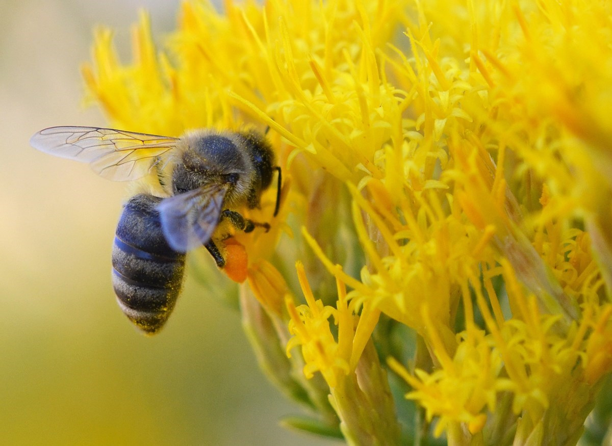 A honeybee gathers nectar from yellow wildflowers