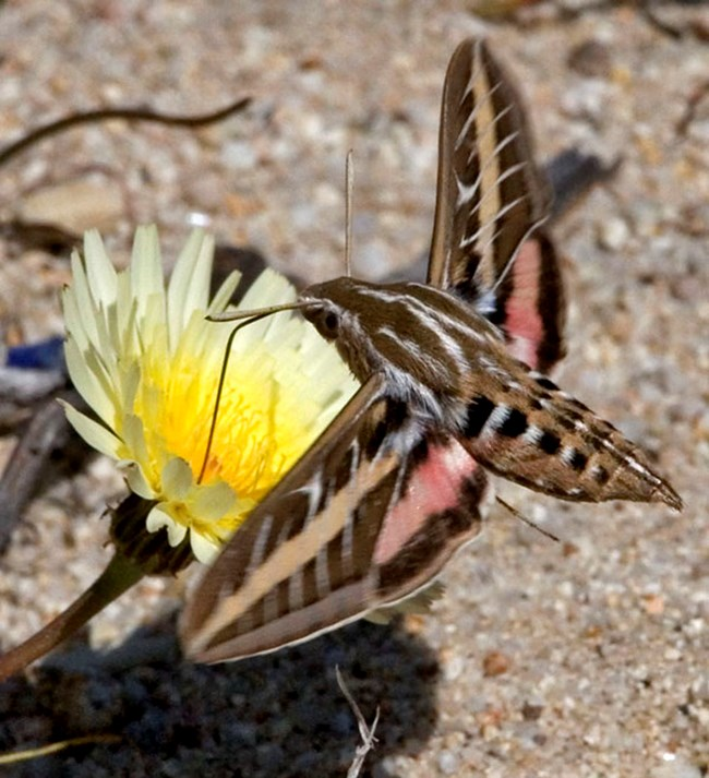 Other colors at cabrillo national monument us national park service white lined sphinx moth visiting a flower mightylinksfo