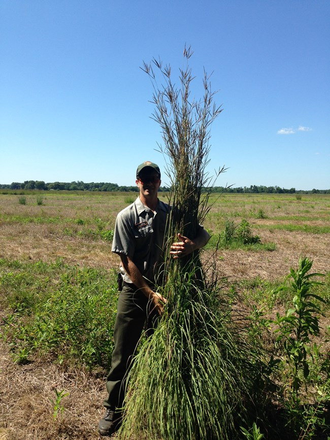 An NPS worker stands next to and holds a tall patch of native prairie grasses at Pea Ridge National Military Park.