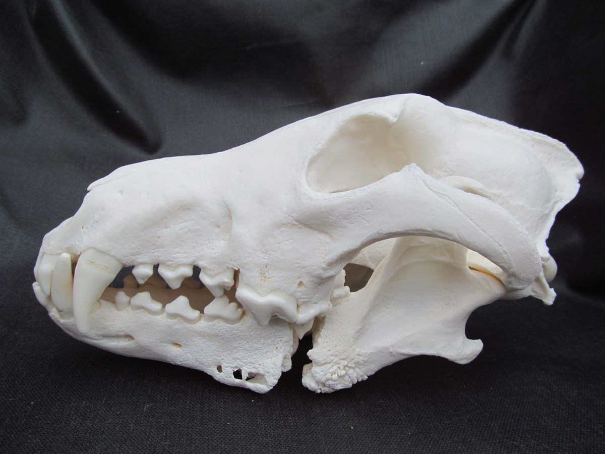 911M Wolf Skull Showing Severely Broken Jaw