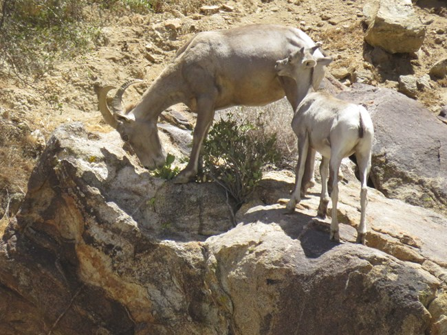 A bighorn sheep ewe stands next to a lamb in a desert setting.