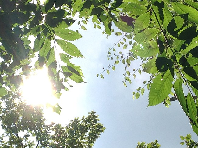 Sun filters down through green American chestnut leaves