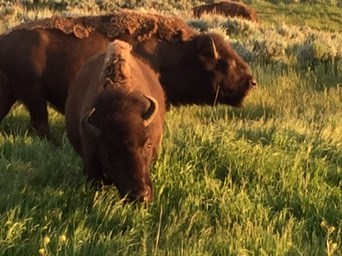 Three bison grazing in the sun