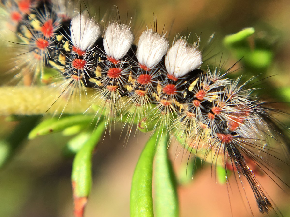 Fuzzy caterpillar with rows of bright red-orange dots and four distinctive white tufts on its back