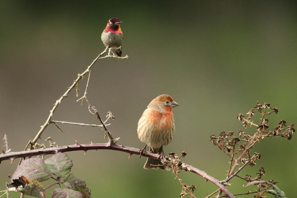 A house finch and an Anna's hummingbird share a thorny branch