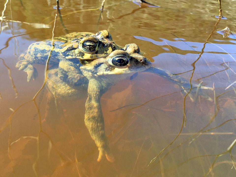 Male toad grasping the back of a female toad as they float in a pond