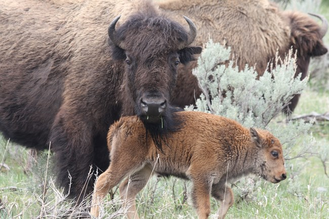 Mother bison and calf, mother seemingly resting its head on the calf's hindquarters