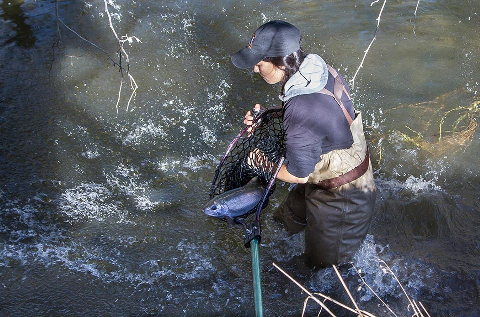 Person thigh-deep in Redwood Creek, releasing a large coho salmon from a net into the creek.
