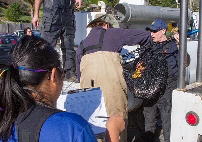 People use a net to transfer coho from a tank on a truck to a cooler while another person fills in a data sheet.