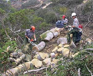 Eucalyptus tree removal, Cabrillo National Monument, 2002.