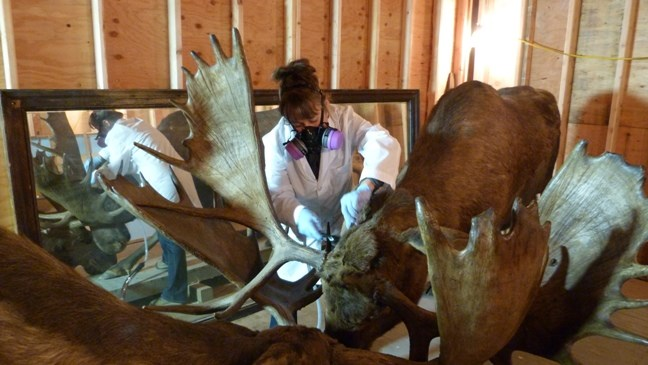 An employee wearing protective gear while cleaning a stuffed moose