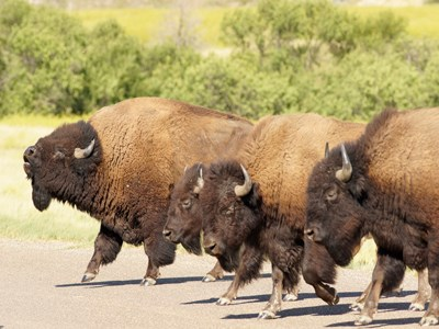Four bison marching together seemingly in unison next to one another, the one farthest away with its head in the air as if bellowing