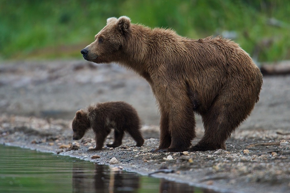 Mother bear and cub standing on a river bank
