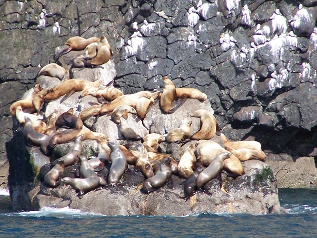 sea lions on rocks with cliff of pillow basalt behind