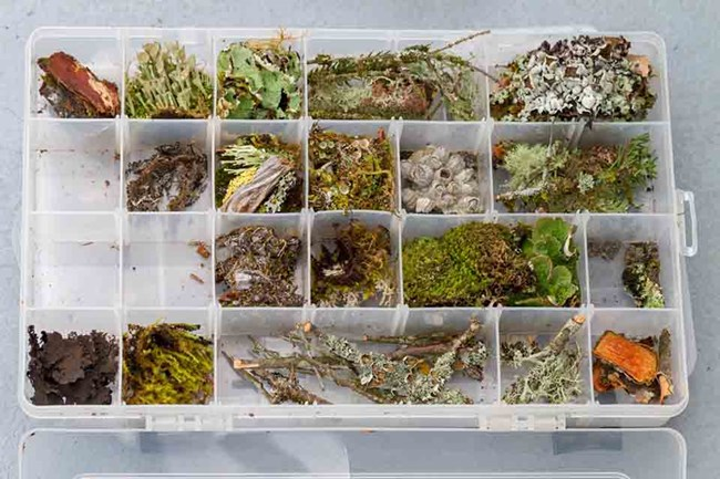 A fly box containing different species of lichen in each cup.