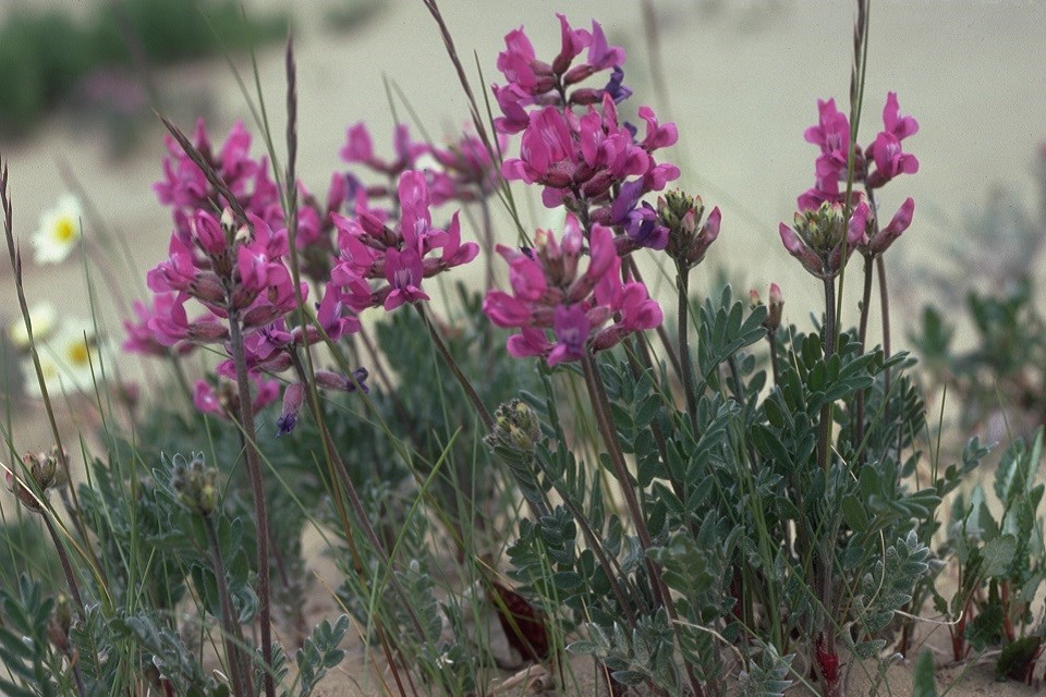 Purple-colored kobuk locoweed flowers