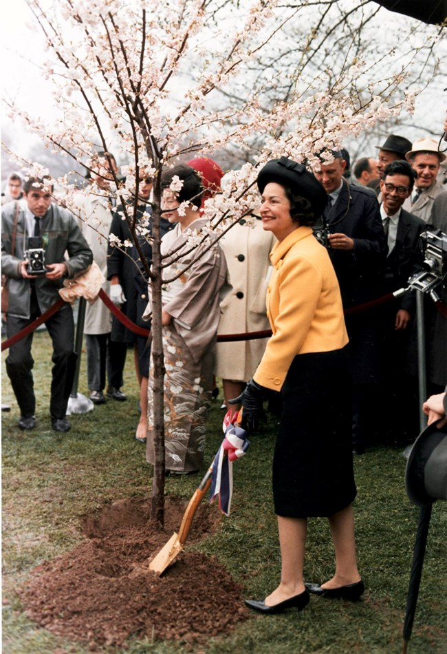 Photo of Lady Bird Johnson planting a cherry blossom tree.