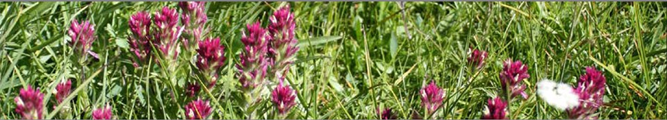 Magenta paintbrush-shaped flowers in a field of green grass