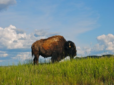 A bison standing atop a green hill in grass up to its chest, a cloudy blue sky behind