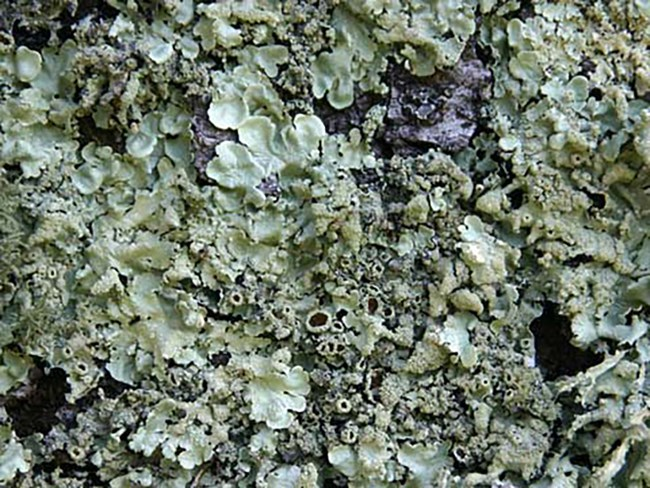 Pale green lichen grows in knobby fingers and small open cups.