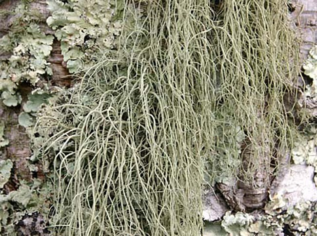 A drooping pale green hair-like lichen.