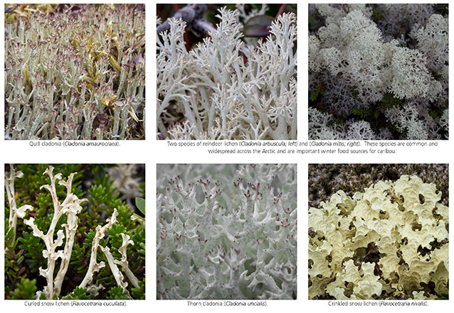 lichens of the arctic  u s  national park service