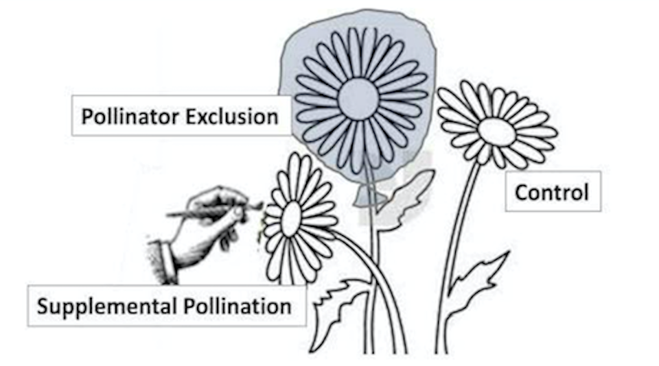 "A graphic of three flowers, one labeled ""Supplemental Pollination"" being pollinated by hand, one labeled ""pollinator exclusion"" wrapped in a bag, with one flower labeled ""control""."