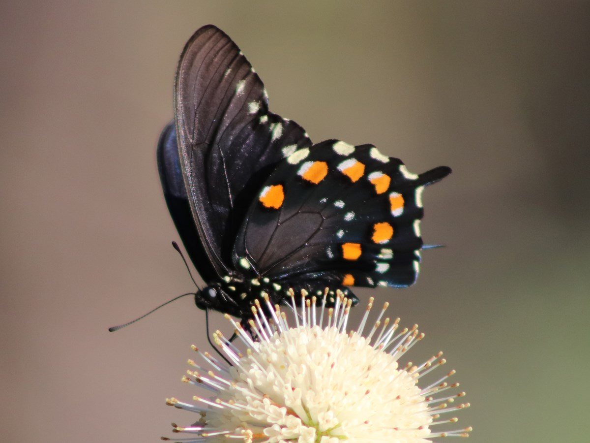 dark-winged butterfly with orange and white spots on the undersides sitting on round white flower