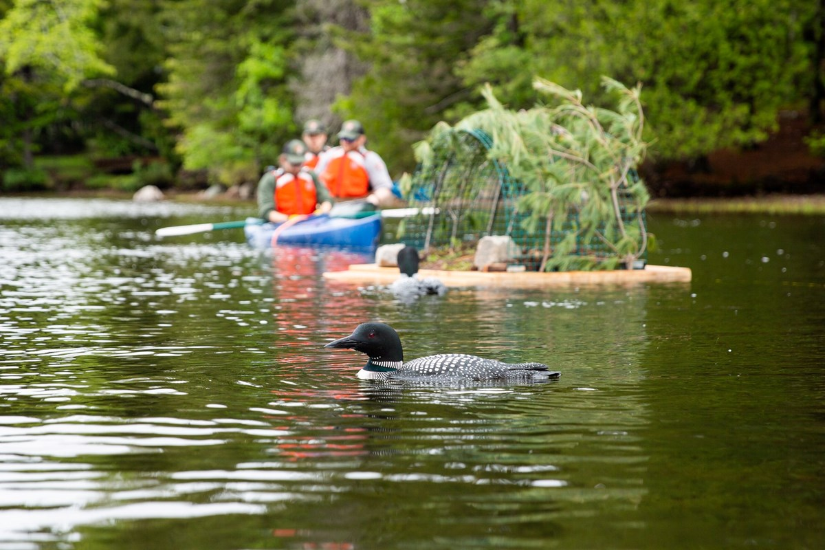 loon swimming around a man made nest on Echo Lake