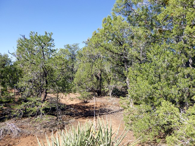 Pinyon-juniper woodland under a blue sky.