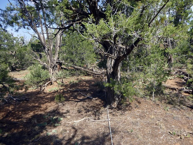 Dense pinyon-juniper woodland with bare soils and gnarled tree trunks in the foreground.