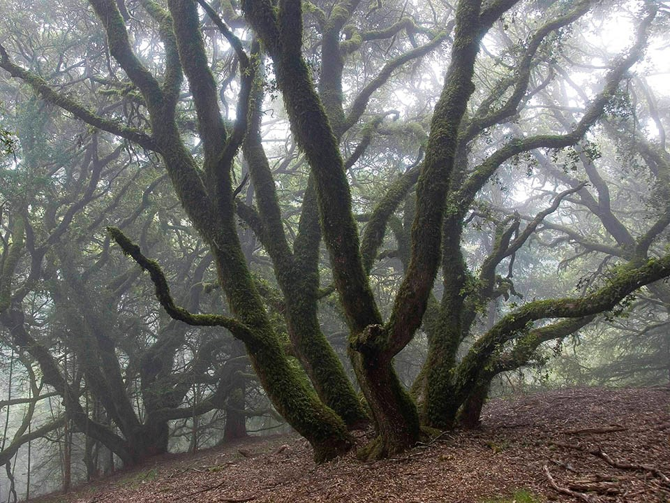 Twisting, moss-covered trunks of coast live oaks on a fog-drenched hillside