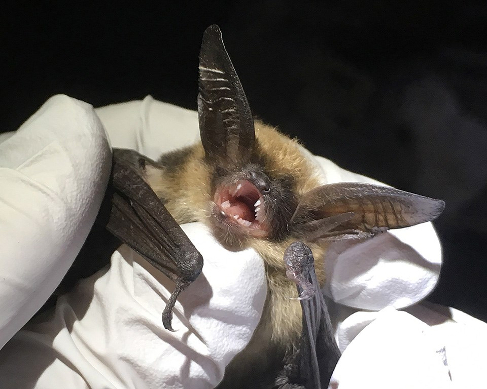 Western long-eared myotis being held by the gloved hands of a biologist