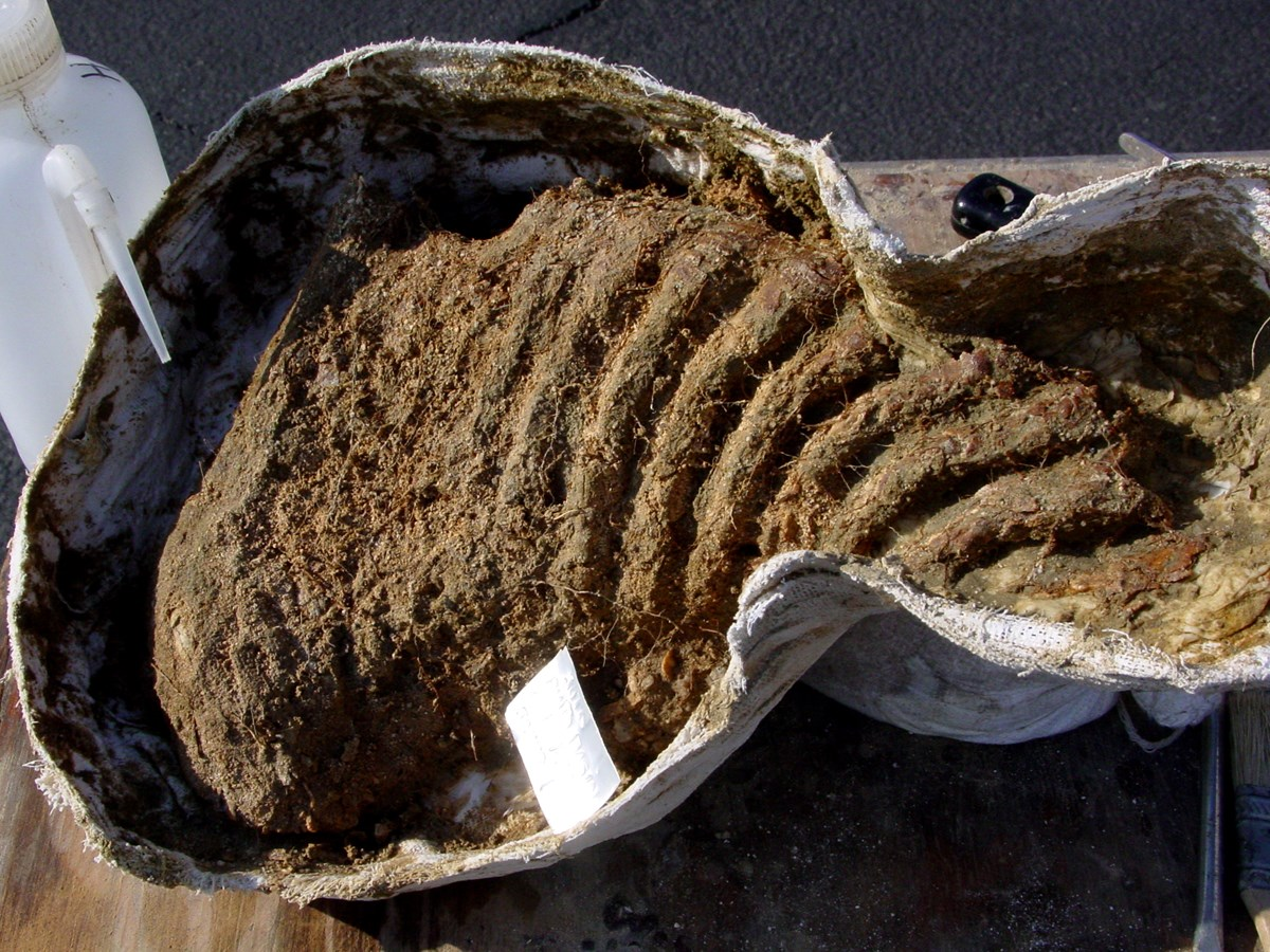 A fossilized mammoth tooth wrapped in plastic. The tooth itself looks like a rib cage of parallel lines.