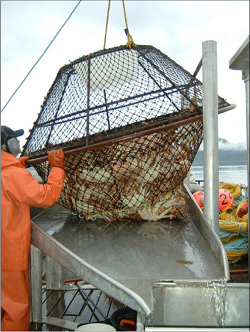a tanner crab pot being emptied onto a boat
