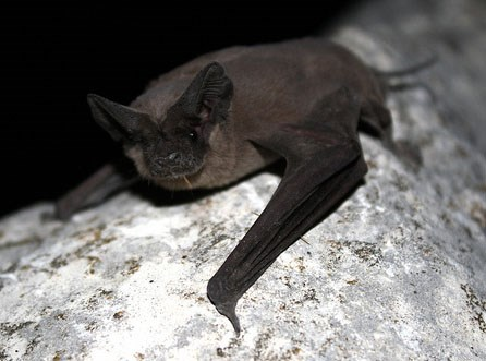 A Mexican free-tailed bat rests on a rock.