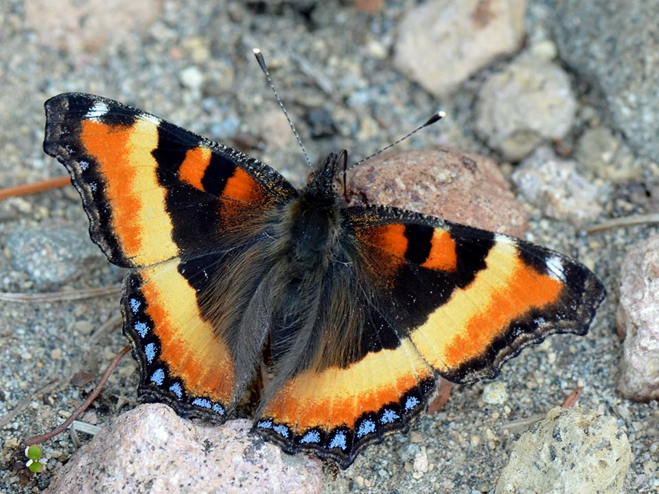 Dorsal view of a colorful Milbert's tortoiseshell butterfly