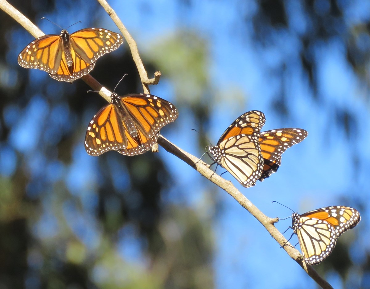 Four monarch butterflies share a branch in the sunlight