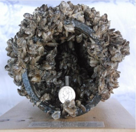 Plastic pipe recovered from infested waters, encrusted with quagga mussels