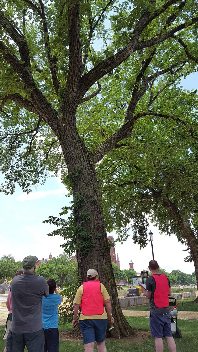Tree experts assess an American elm on the National Mall.