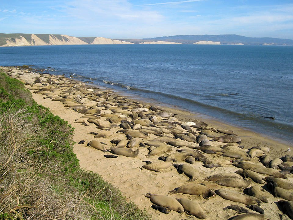 Section of beach covered in elephant seals