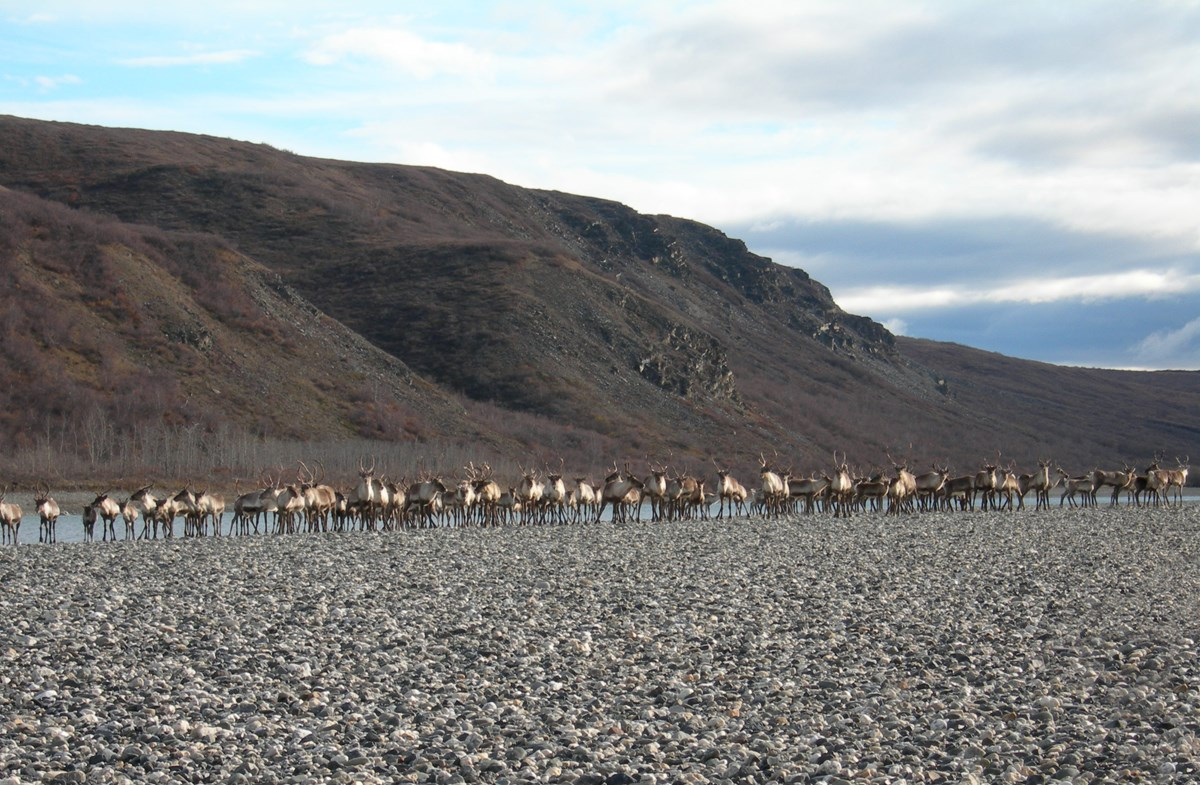 A group of caribou stand side by side next to the Noatak River on a gravel bar.